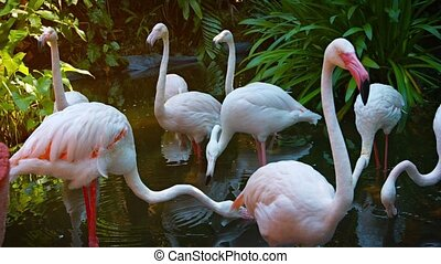 Flamboyance of Flamingoes Wading in a Pond at a Bird Park -...