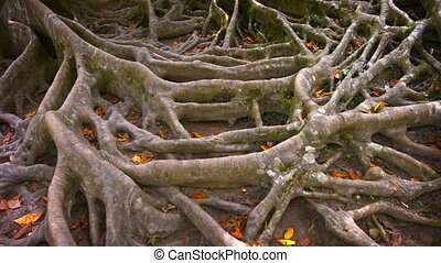 Interwoven Root Mass of a Large Tropical Tree video - Thick,...