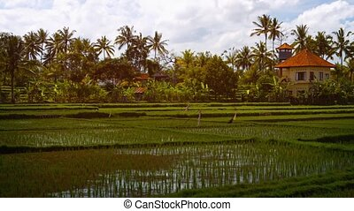 """Modern House Stands over Lowland Rice Paddies in Bali,..."