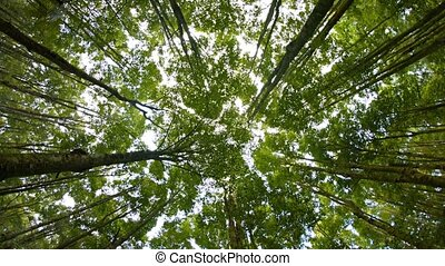 quot;Rotating View of Tree Tops from the Forest Floor, with...