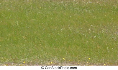 Swaying grasses Tundra of Novaya Zemlya archipelago Arctic -...