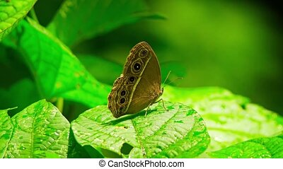 "Living Specimen of White Line Bushbrown Butterfly - ""Living..."