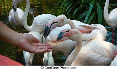 Coseup of Flamingos Eating from Tourist's Hand at Petting...