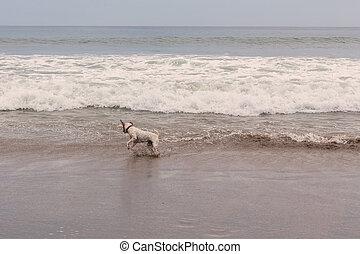 Parson, russell, terrier, Pular, ligado, a, ondas,