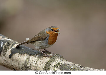 Robin, Erithacus rubecula, single female begging for food...