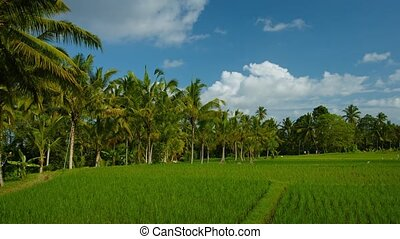 Rice Fields on a Balinese Farm - Coconut palm trees border...