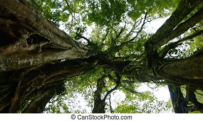 quot;Rotating, Skyward View of Gnarled Trees in a Forest...