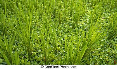 Clusters of Lowland Rice Stalks in a Drained Paddy - Evenly...