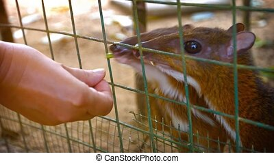 Tourist Feeding Chevrotains through a Wire Fence at a Zoo -...