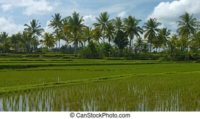 Lowland Rice Paddies on a Plantation in Southeast Asia -...
