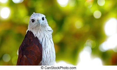 Beautiful Brahmini Kite Takes Off from his Perch - Beautiful...