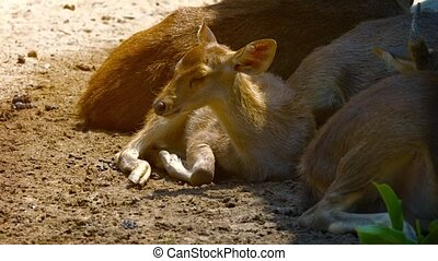 Cute Baby Deer Laying in the Sun at the Zoo - Cute baby...