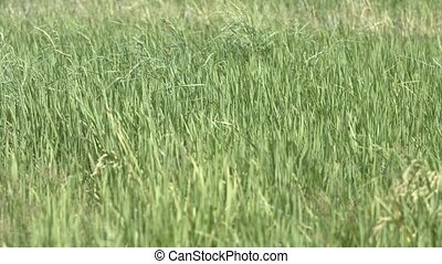 Blades and Stalks of Rice Plants on a Farm - Tall grassy...