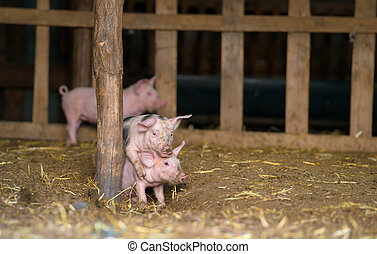 Happy piglets at farm, playing