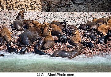 Seal on Ballestas Islands, Paracas. Peru - Seal on Ballestas...