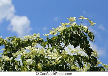 Dogwood - White dogwood tree flowers blooming on a sunny...