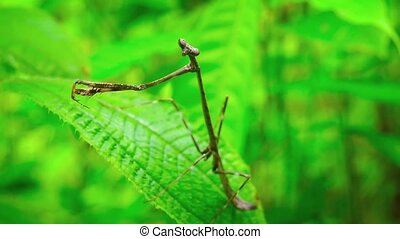 """Closeup of a Praying Mantis on a Leaf, with Sound"" -..."