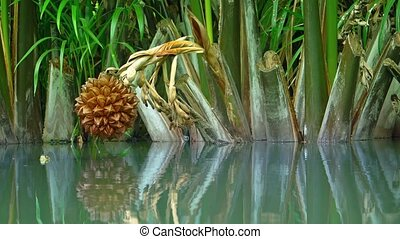 Turtle Peaks out of Water with Nypa fruticans nipa palm over...