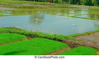 Storks in a Southeast Asian Rice Paddy - Storks walking in...