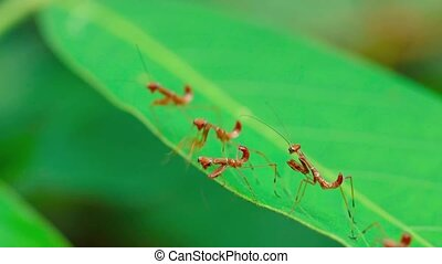 Group of Freshly Hatched Praying Mantises on a Leaf. Video -...