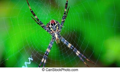 Argiope Orb Weaver Spider on its Web video - Extreme closeup...