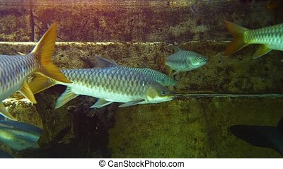 Large Fish in a Themed Tank at a Public Aquarium Video -...