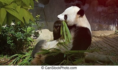 Adult Panda Eating Bamboo with its Paws Video - Adult panda,...