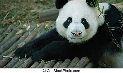 Panda raises his head and looks at the camera. Video