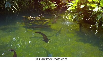 Arowanas in a Pond in Southeast Asia video - Several large...