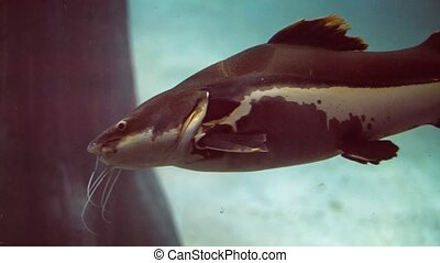 Large Redtail Catfish in a Public Aquarium Video - Redtail...
