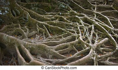 Interwoven Surface Roots of an Enormous Tropical Tree. Video...