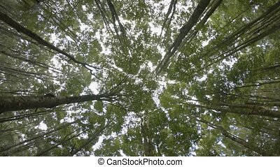 Rotating Shot of a Young Forest Canopy from Below. video -...