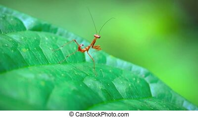 Juvenile, Red Praying Mantis - Juvenile, red praying mantis,...