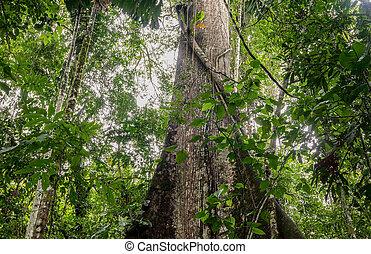 Kapok Tree, Ceiba Pentandra, Ecuador - Ceiba Is The Name Of...