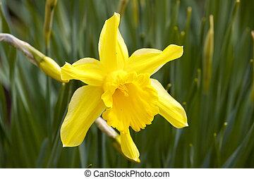 Flower Yellow daffodil