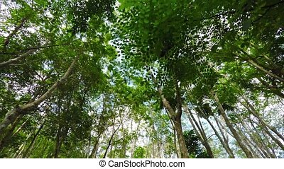 High Angle Shot of Treetops on a Rubber Tree Plantation. Video
