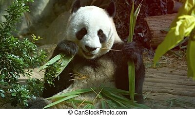 Panda Eating Young Bamboo at the Zoo - Adult panda holding...