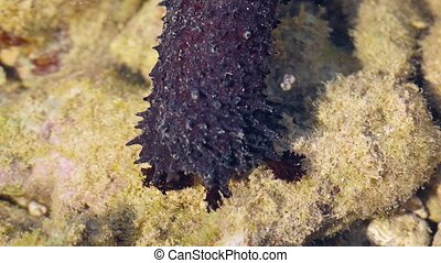 Closeup of a Black Sea Cucumber in its Natural Habitat. Video