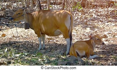 Mother Cow and Calf on Balinese Farm in Indonesia - Calf...