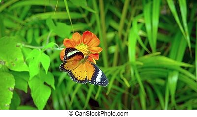 Leopard Lacewing Butterfly Feeding on a Flower's Nectar....