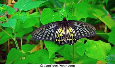 Solitary Specimen of Common Birdwing Butterfly on a Leaf....