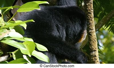 Gibbon in a Tree at a Popular Zoo Video - Mature Gibbon,...