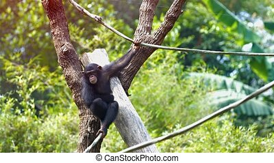 Single Chimpanzee Hangs from a Vine at the Zoo. Video -...