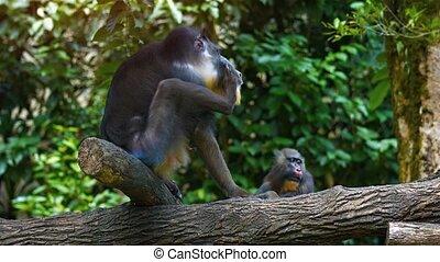 Male Mandrill Monkeys in their Artificial Zoo Habitat. Video...