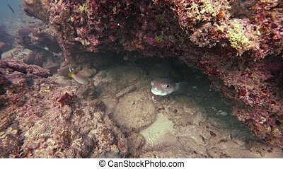Wild Porcupinefish Emerges from Hiding amongst the Coral -...