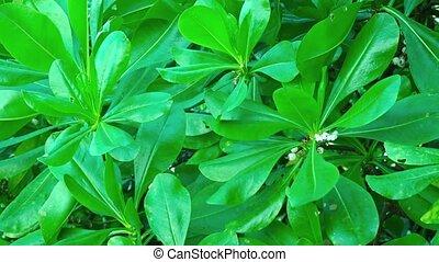 Glossy Leaves of a Tropical Shrub. Scaevola taccada (beach...