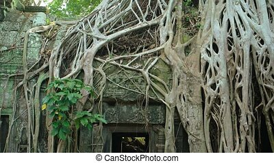 Ancient Temple Ruin Enveloped by Tropical Tree Roots -...