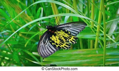 Solitary Specimen of Common Birdwing Butterfly on a Leaf...