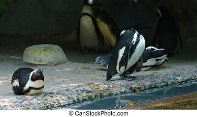 "Waddle of Jackass Penguins at the Zoo. Video - ""Small waddle..."