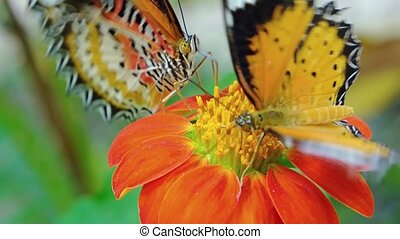 Two Specimens of Leopard Lacewing Butterflies on a Flower